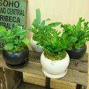 シダ植物 観葉植物:ブルースター シシバタニワタリ*モダン陶器鉢 受け皿付 苔付き