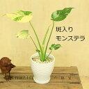 選べる:テーブル観葉植物*陶器鉢 受皿付