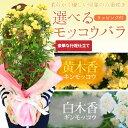 母の日 ギフト 鉢花:モッコウバラ(木香バラ)*キモッコウ シロモッコウ ラッピング付き