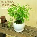 観葉植物:アジアンタム*モダンホワイト陶器鉢14cm(受け皿...