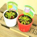 鉢色おまかせ 観葉 食虫植物:ハエトリソウ 2個セット*