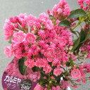 鉢花:カルミア*アメリカシャクナゲ*品種選べます。2017年開花終了