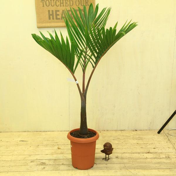 希少品種・観葉植物:トックリヤシ(徳利椰子)*茶ポット 幸せになれると言われる人気のトックリヤシ♪