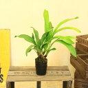 ミツバチ誘引 シンビジウム 蘭 観葉植物:デボニアナム*今期開花終了