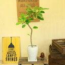 観葉植物:フィカス アルテシーマ陶器鉢*受け皿付き