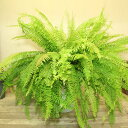 希少品種 観葉植物:斑入りネフロレピス エクセルタータ*ハッピーマーブル プラポット