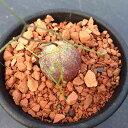 希少植物:シゾバシス イントリカータ*2cm