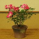 【即日発送!】薔薇盆栽:サクラノイバラ(瀬戸焼鉢)*【送料無料】