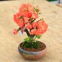 小品盆栽:品種が選べる春放花(瀬戸焼鉢)*木瓜 ボケ【ぼんさい】【ボンサイ】【送料無料】