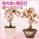 ◇楽天1位◇【母の日 ギフト】桜盆栽:鉢が選べる母の日開花桜...