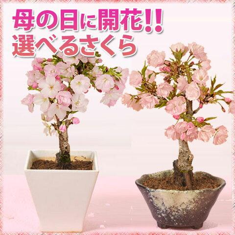 ◇楽天1位◇【母の日 ギフト】桜盆栽:鉢が選べる母の日開花桜* 【送料無料】【ラッピング付】【さくら盆栽】