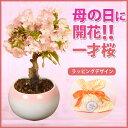 ◇楽天1位◇【母の日 ギフト】桜盆栽:母の日開花桜* 【送料...