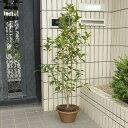 庭樹盆栽:金木犀(キンモクセイ)鉢植え*【送料無料】