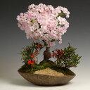 盆栽:八重桜寄せ(信楽焼鉢)*【送料無料】