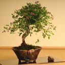 【敬老の日ギフト】小品盆栽:屋久島萩(信楽焼変形鉢)*【送料無料】【ぼんさい ボンサイ】