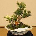 【即日出荷可!】盆栽:五葉松・紅白長寿梅寄せD(白釉変形鉢)*【送料無料】【ぼんさい ボンサイ】