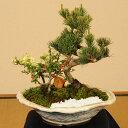 【敬老の日ギフト】盆栽:五葉松・紅白長寿梅寄せD*【送料無料】【ぼんさい ボンサイ】