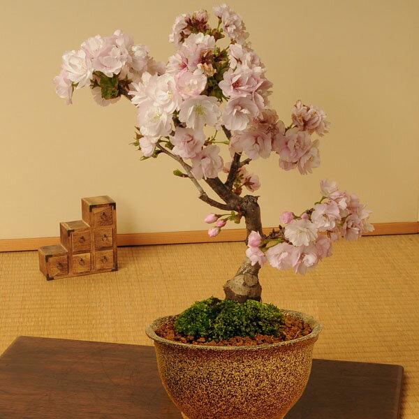 桜盆栽:八重桜(信楽焼伊羅保鉢)*【葉姿でお届け】【あす楽対応】...:yukei:10007350