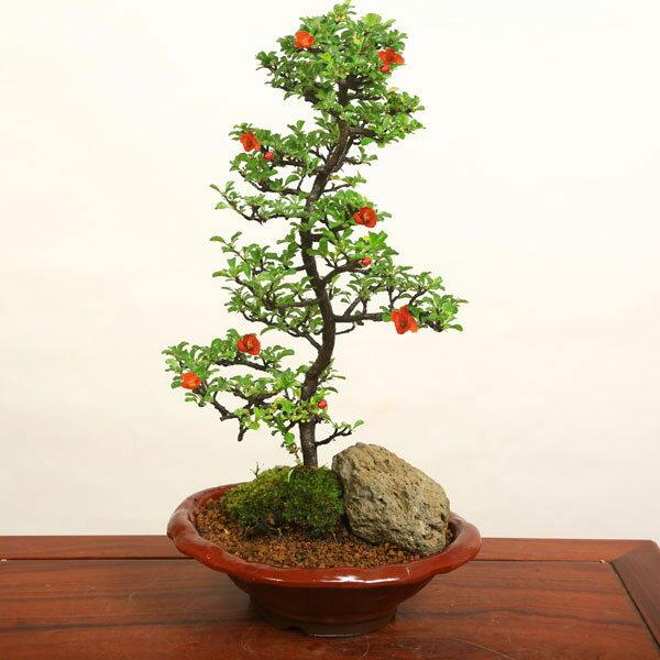 【即日出荷可!】中品盆栽:長寿梅(大・瀬戸焼小鉢)*【送料無料】...:yukei:10007912