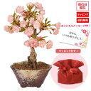 【母の日 プレゼント】◇楽天1位◇桜盆栽:鉢が選べる母の日開...