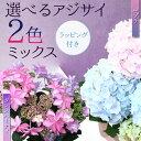 """【即日出荷!】鉢花:アジサイ(紫陽花) 2色ミックス*""""ゼブ..."""