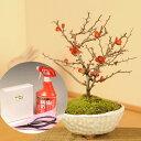【敬老の日ギフト】ミニ盆栽:長寿梅(瀬戸焼鉢)と道具セット*【送料無料】【ぼんさい ボンサイ】
