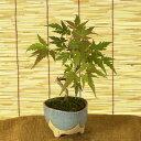 【敬老の日ギフト】ミニ盆栽:山もみじ(信楽焼鉢)*【送料無料】【ぼんさい ボンサイ】
