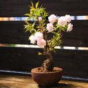 桜盆栽:きのと桜*【送料無料】【即日出荷可】
