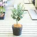 観葉植物:オリーブの木  バスケット付き*SOUJU(創樹) ココヤシ飾り N-104-5B