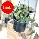 観葉植物:フィロデンドロン ミカンス*吊り鉢