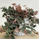 おしゃれ 観葉植物:ペリオニア 鉢カバー付き*