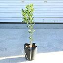 庭木・植木:金柑(きんかん)キンカン 接木2年生 樹高60cm