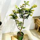 おしゃれ 観葉植物:ジャボチカバ*プラポット 大型ヤマト便