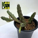 多肉植物:ガガイモ スタペリア アンゴレンシス*幅8cm