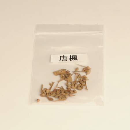 盆栽種子:唐楓【お得】