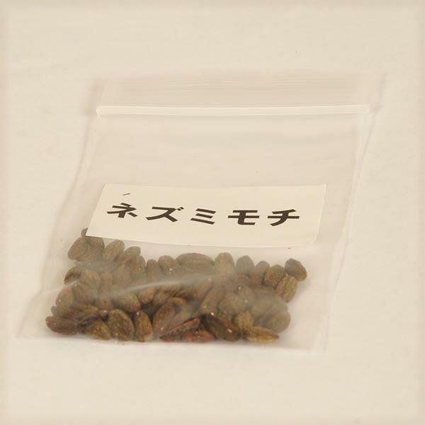 盆栽種子:ネズミモチ