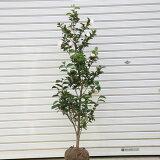 庭木:サザンカ(さざんか)朝倉 樹高約100cm 全高約120cm
