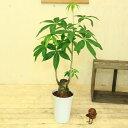 人気観葉植物:ぷっくりパキラ(発財樹)*7号