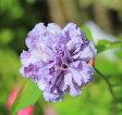 庭木:ムクゲ 人気の八重咲き 紫玉! 大株 樹高:約150cm 全高:約170cm ヤマト便大型商品発送!
