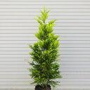 庭木:コニファー(ゴールドライダー) 樹高:約110cm 全高:約120cm ヤマト便(大型商品)発送!