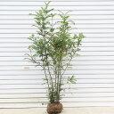 ☆送料無料☆ 庭木:シマトネリコ 株立ち・小 常緑樹 シンボルツリー 樹高:約120cm 全高:約130cm