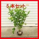 庭木:梔子(クチナシ)くちなし 5本セット*【お得!】