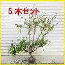 楽天遊恵盆栽 楽天市場店庭木:アベリア(あべりあ)5本セット*【お得!】