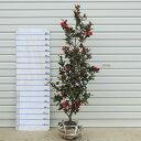 庭木:立寒椿(たちかんつばき)(勘次郎)サザンカ/かんつばき* 樹高:100cm 全高:120cm