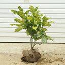 庭木:斑入りアオキ