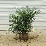 庭木:マホニアコンフューサ(細葉ヒイラギナンテン) H:40-50cm