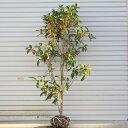 ☆送料無料☆ 庭木:金木犀(キンモクセイ)*(根巻き) 樹高:約100-120cm