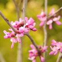 庭木:赤花ハナズオウ 良品 太株で立派です!