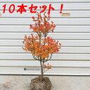 ☆送料無料☆ 庭木:ドウダンツツジ(どうだんつつじ) 10本セット!!