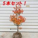 庭木:ドウダンツツジ(どうだんつつじ) 5本セット!!